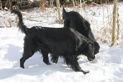 Dogs, Pet, Winter, Black, Animal, Flat-coated Retriever