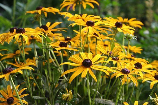 Flower, Floral, Golden, Daisy, Black-eyed-susan, Yellow