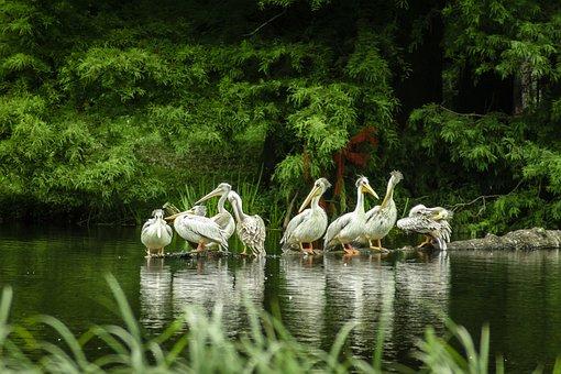 Pelicans, Lake, Zoo, Hagenbeck, Hamburg, Island, Break