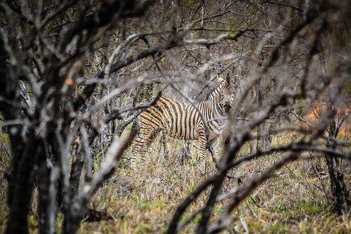 Wildlife, Nature, Animal, Wild, Mammal, Camouflage