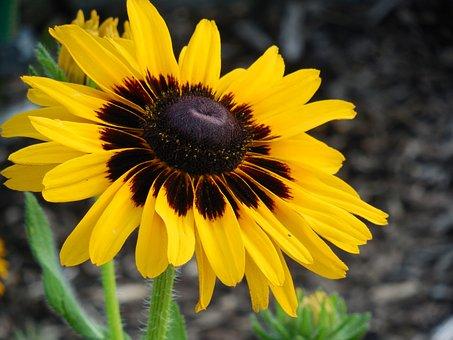Rudbeckia, Flower, Yellow, Nature, Garden, Plant, Susan