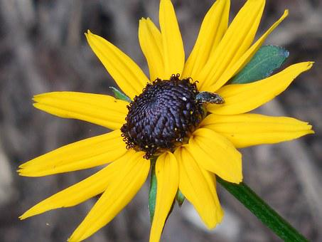 Rudbeckia, Black Eyed Susan, Flower, Blossom, Plant
