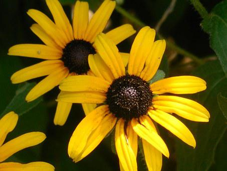 Rudbeckia, Black-eyed Susan, Yellow, Summer, Daisy