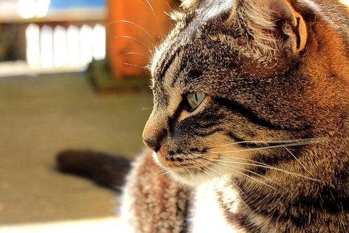 Cat, Tabby, Smile, Feline, Pet, Kitten, Mammal, Animal