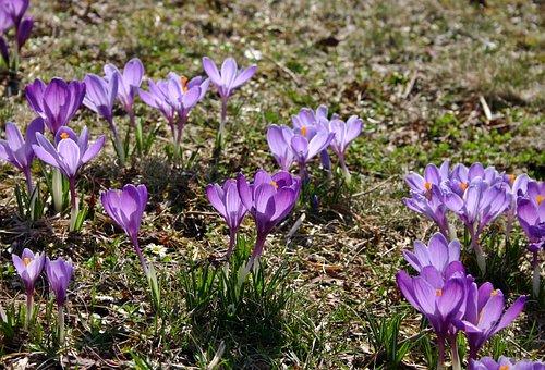 Crocus, Purple, Violet, Frühlingsanfang, Spring