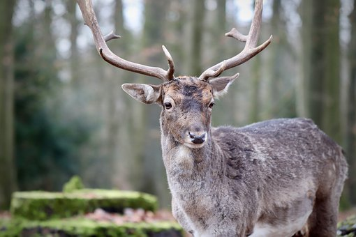 Fallow Deer, Hirsch, Antler, Wildlife Park, Wild Animal