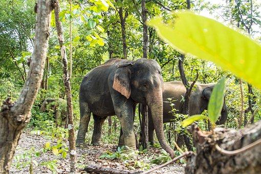 Asia, Wildlife, Wild, Elephant, Natural, Asian, Animal