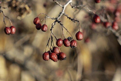 Hawthorn, Bush, Shrub, Red, Fruits, Berries, Leaves