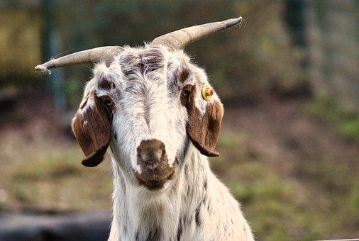 Goat, Head, Animal, Portrait, Nature, Billy Goat, Horns
