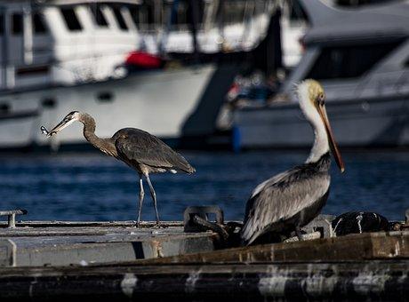Heron, Fishing, Nature, Bird, Plumage, Eastern