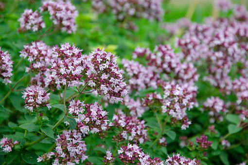 Oregano, Real Roxanne, Blossom, Bloom, Origanum Vulgare