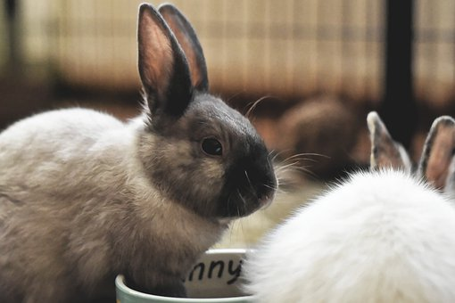 Dwarf Rabbit, Color Dwarf, Pet, Rabbit, Dwarf Bunny