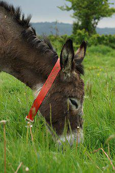 Donkey, Grass, Animal, Green, Ears, Tree, Collar, Red