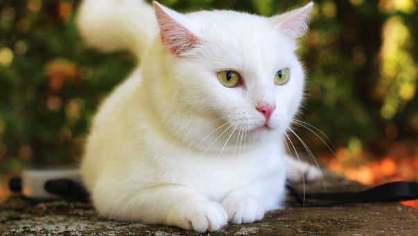 Cat, White, Autumn, Eyes, Pet, Fur, Eye, Close Up