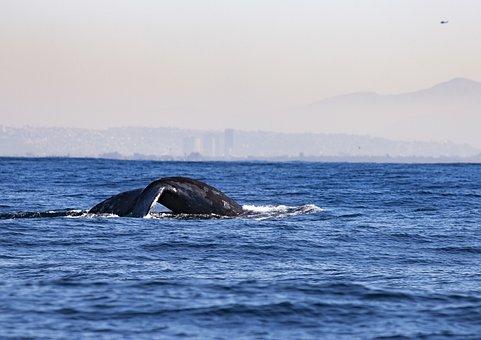 Whale, Tail, Ocean, Water, Mammal, Wildlife, Fin