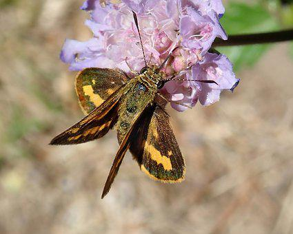Insect, Butterfly, Moth, Double Wings, Flower, Nectar
