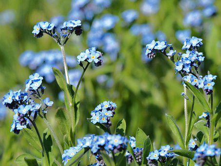 Meadow, Forget Me Not, Flower, Blue, Nature, Blossom