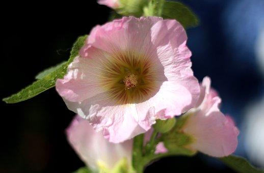 Alcea, Hollyhock, Pink, Sunlight, Stamens, Flower