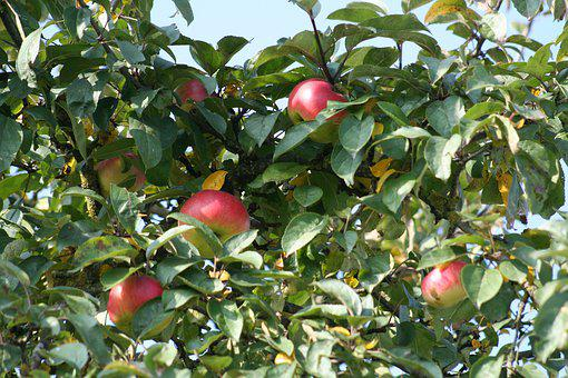 Apple, Tree, Leaves, Apple Tree, Fruit, Nature, Garden