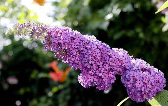 Budlea, Butterfly Bush, Purple, Shrub, Garden, Summer