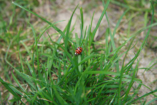 Ladybug, Grass, Doubdle, Insect, Green