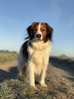 Dog, Kooikerhondje, Pet, Kooiker, Purebred Dog, Dutch