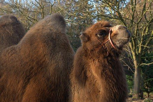 Camel, Animal, Nature, Fur
