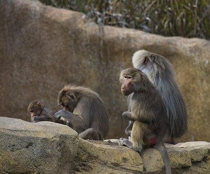 Monkey, Baboon, Animal, Zoo, Nature, Mammal, Primate