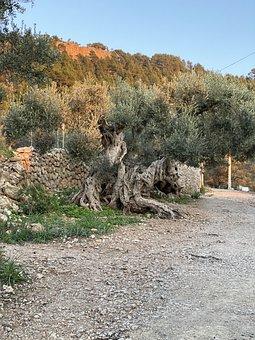 Olive Tree, Old, Mallorca, Gnarled, Nature