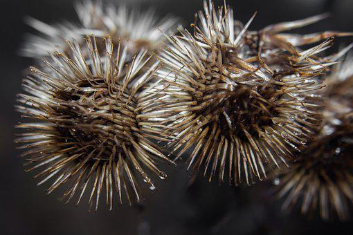 Bur, Nature, Plant, Zoom, Burdock