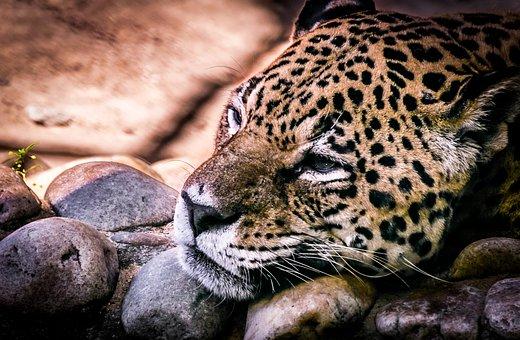 Jaguar, Panther, Loneliness, Nature, Animal, Feline