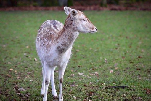 Fallow Deer, Ricke, Roe Deer, Wildlife Park
