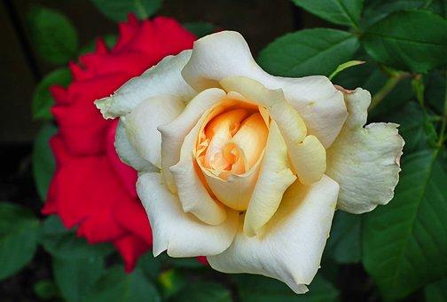 Rose, Flower, Tea, Plant, Love, Beauty, Roses, Garden