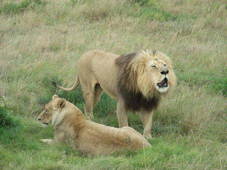 South Africa, Lion, Africa, Safari, Animal World