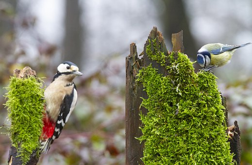 Big Woodpecker, Woodpecker, A Blue Tit, Titmouse, Tit