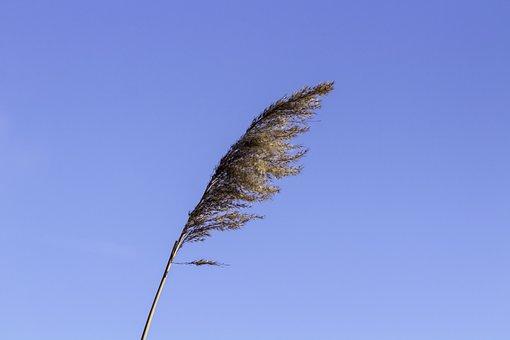 Reed, Villosa Iris, Aquatic Plants, Lake, Water, Weed