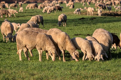 Flock Of Sheep, Flock, Lamb, Pasture, Farm, Agriculture
