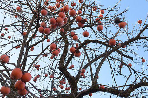 Persimmon, Autumn, Nature, Tree, Colorful, Fall, Japan