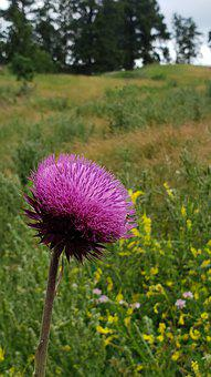 Nettle, Pink, Flower, Wildflower, Black Hills