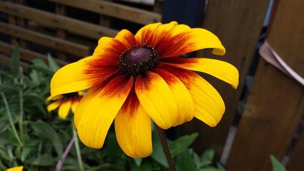 Flower, Bloom, Black Eyed Susan, Plant, Garden