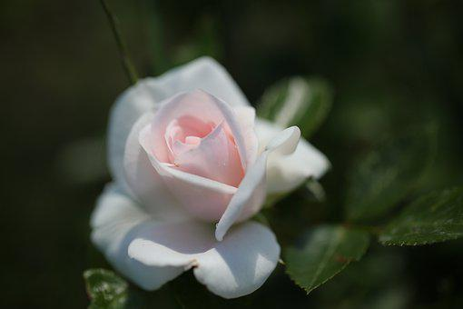 Rose, Flower, Blossom, Bloom, Nature, Romantic, Pink