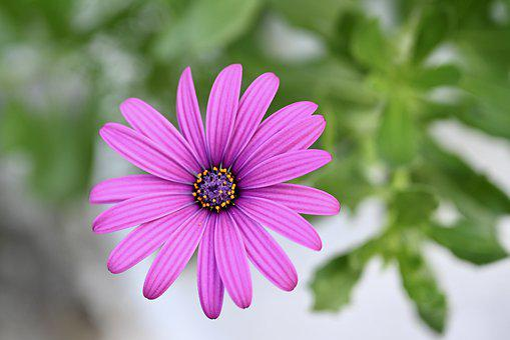 Marguerite, Flower, Blossom, Bloom, Summer, Spring