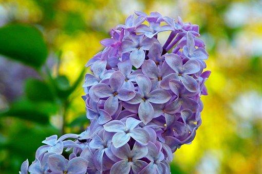Lilac, Flowers, Blue, Spring, Garden, Nature