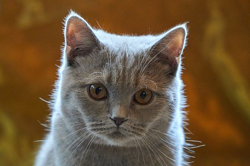 Cat, Sweet, Small, Young, Animal, Pet, Fur, Soft, Grey
