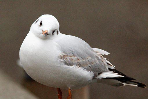 Seagull, Tele, Cheeky, Lake, Keck, Trustful