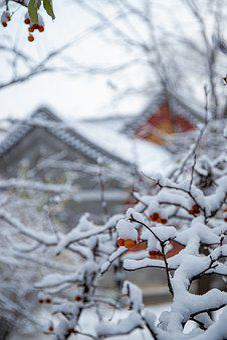 Architecture, Leaf, Plant, Snow, Winter, Cherry, Sakura