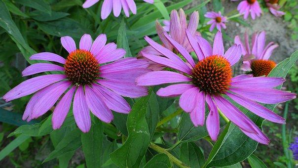 Purple Coneflower, Flower, Garden, Echinacea, Plant