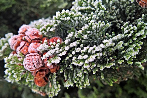 Juniper, Frost, Evergreen Plant, Bush, Branch, Winter