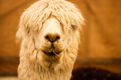 Funny, Alpaca, Animal, Head, Cute, Face, Wool, White