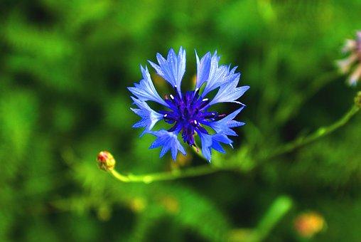 Flower, In The Wild, Blue, Field, Meadow, Macro, Photo